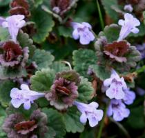 Glechoma hederacea - Flowers - Click to enlarge!