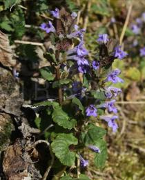 Glechoma hederacea - Flowers, side view - Click to enlarge!