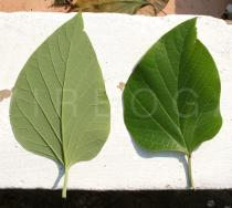 Gmelina arborea - Upper and lower surface of leaf - Click to enlarge!