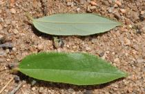 Grewia damine - Upper and lower surface of leaves - Click to enlarge!