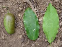 Griffonia simplicifolia - Fruits, upper and lower surface of leaf - Click to enlarge!