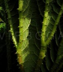 Gunnera tinctoria - Section of lower leaf surface - Click to enlarge!