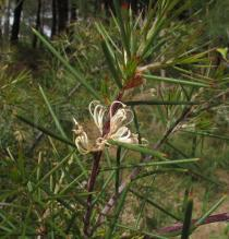 Hakea sericea - Flowers and foliage - Click to enlarge!