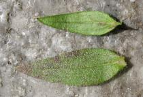 Halimium ocymoides - Upper and lower surface of leaf - Click to enlarge!