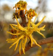 Hamamelis virginiana - Flower close-up - Click to enlarge!