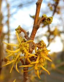 Hamamelis virginiana - Flowers - Click to enlarge!