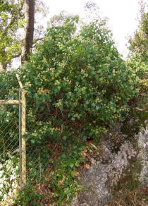 Hedera helix - Habit - Click to enlarge!