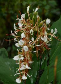Hedychium neocarneum - Inflorescence - Click to enlarge!