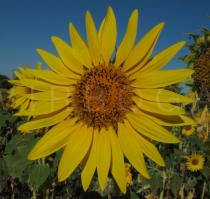 Helianthus annuus - Flower head - Click to enlarge!