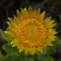 Helichrysum aureum - Flower head - Click to enlarge!