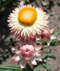 Helichrysum bracteatum - Flower head and flower head bud - Click to enlarge!
