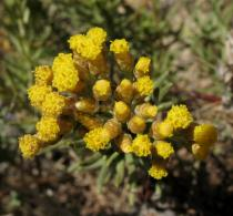 Helichrysum stoechas - Inflorescence - Click to enlarge!