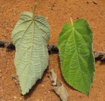 Helicteres heptandra - Upper and lower surface of leaves - Click to enlarge!