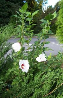 Hibiscus syriacus - Habit - Click to enlarge!