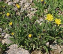 Hieracium alpinum - Habit - Click to enlarge!