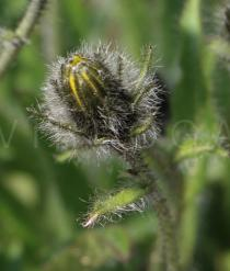 Hieracium alpinum - Flower head bud, close-up - Click to enlarge!