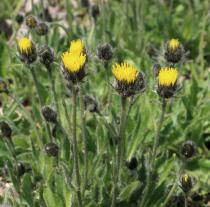 Hieracium alpinum - Opening flower heads - Click to enlarge!