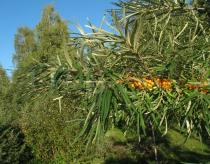 Hippophae rhamnoides - Branch with ripe fruits - Click to enlarge!
