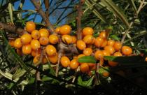 Hippophae rhamnoides - Fruits - Click to enlarge!