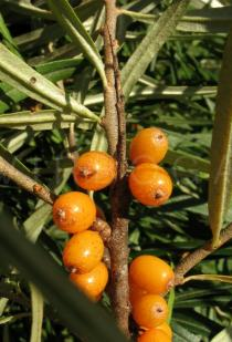 Hippophae rhamnoides - Thorn - Click to enlarge!