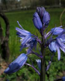 Hyacinthoides paivae - Flower side view - Click to enlarge!