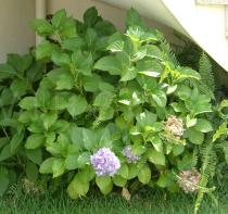 Hydrangea macrophylla - Habit - Click to enlarge!
