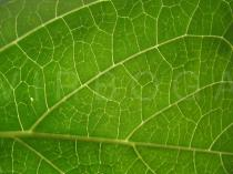 Hydrangea macrophylla - Leaf venation - Click to enlarge!