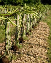 Hylocereus undatus - Habit in plantation - Click to enlarge!
