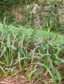 Hymenocallis littoralis - Habit - Click to enlarge!