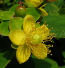 Hypericum androsaemum - Flower - Click to enlarge!