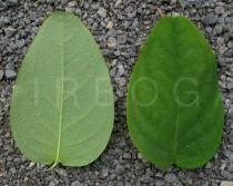 Hypericum androsaemum - Upper and lower side of leaf - Click to enlarge!