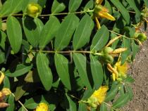 Hypericum calycinum - Foliage - Click to enlarge!