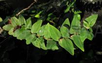 Hypericum foliosum - Foliage - Click to enlarge!