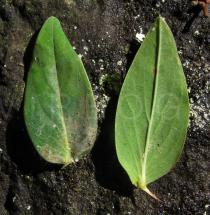Hypericum foliosum - Upper and lower surface of leaf - Click to enlarge!