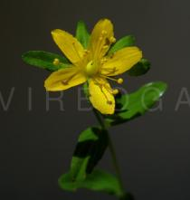 Hypericum humifusum - Flower - Click to enlarge!
