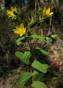 Hypericum humifusum - Branch with flowers - Click to enlarge!