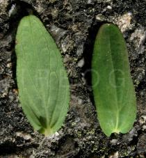 Hypericum humifusum - Upper and lower surface of leaf - Click to enlarge!