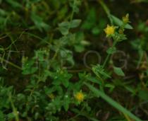 Hypericum japonicum - Habit - Click to enlarge!