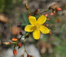 Hypericum linarifolium - Flower - Click to enlarge!