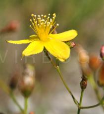 Hypericum linarifolium - Flower, side view - Click to enlarge!
