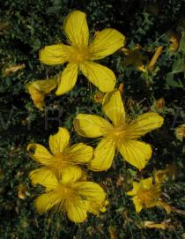 Hypericum olympicum - Flowers - Click to enlarge!