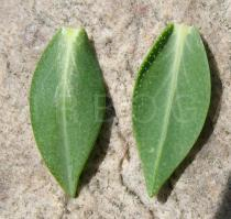Hypericum olympicum - Upper and lower surface of leaf - Click to enlarge!