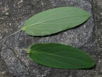 Hypericum perforatum - Upper and lower side of leaf - Click to enlarge!