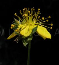 Hypericum tetrapterum - Flower - Click to enlarge!