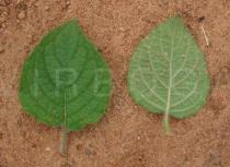 Hyptis suaveolens - Upper and lower surface of leaf - Click to enlarge!
