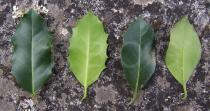 Ilex aquifolium - Top and lower side of leaf - Click to enlarge!
