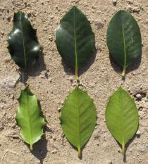 Ilex aquifolium - Upper and lower surface of leaves - Click to enlarge!