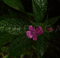 Impatiens aquatilis - Flower - Click to enlarge!