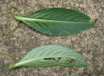 Impatiens irvingii - Upper and lower surface of leaf - Click to enlarge!