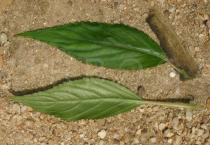 Impatiens kamerunensis - Upper and lower surface of leaf - Click to enlarge!